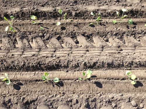 sp perfectly planted brussels sprouts